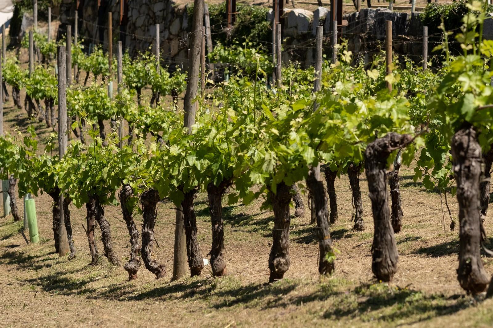 La Xunta renovará en el 2021 el Préstamo Vendimia para garantizar que las bodegas puedan comprar toda la uva de la cosecha en condiciones normales de mercado
